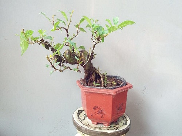 Cây đa bonsai - cây tiêu hao tài lộc, gặp vận xui
