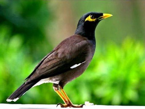 Ngủ mơ thấy chim sáo ý nghĩa gì và nên đánh con số nào