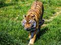 Nằm mơ thấy con hổ nên đánh xổ số con gì thì may mắn