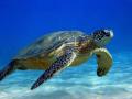 Nằm mơ thấy rùa biển nên đánh xổ số con gì may mắn