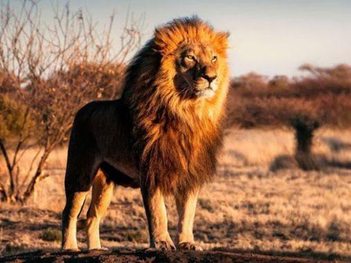 Mơ thấy sư tử là điềm gì, dữ hay lành – Sư tử là số mấy?