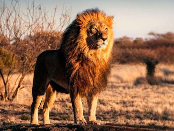 Mơ thấy sư tử là điềm gì, dữ hay lành - Sư tử là số mấy?